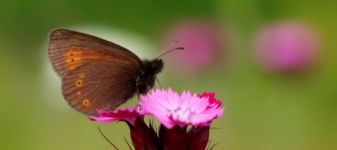 Book on butterflies of Stara planina