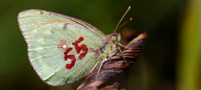 """Настављамо да истражујемо дневне лептире Предела изузетних одлика """"Власина"""" (2016)"""