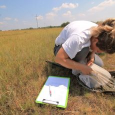 Our study on true bugs of saline grasslands in Vojvodina continues (2019-2020)