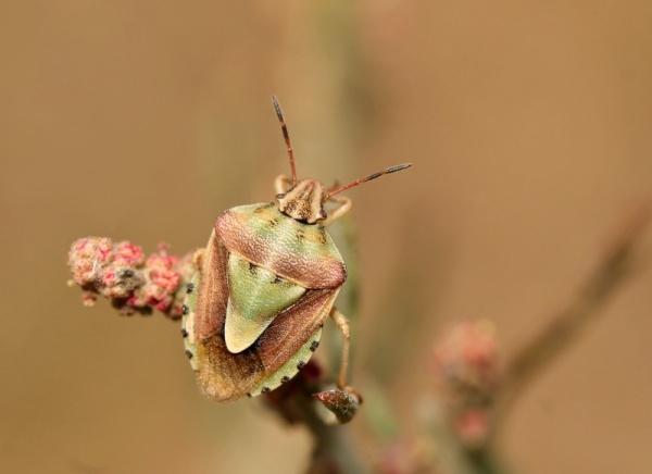 Antheminia lunulata