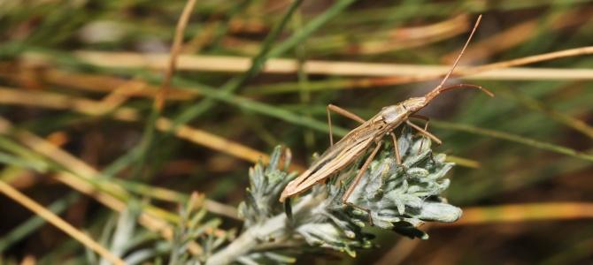 True bugs of Vojvodina saline habitats (2015)