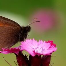 Book on butterflies of Stara planina