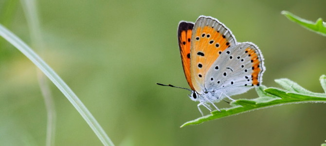 Butterfly monitoring in Stara Planina (2015)